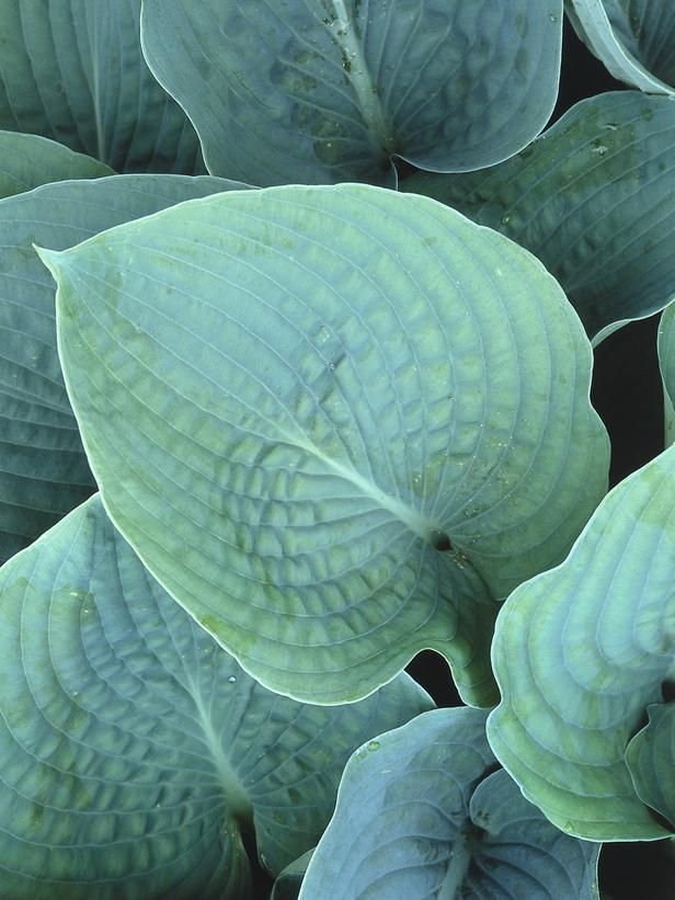 shade-loving container plants | blue hosta, plants and gardens