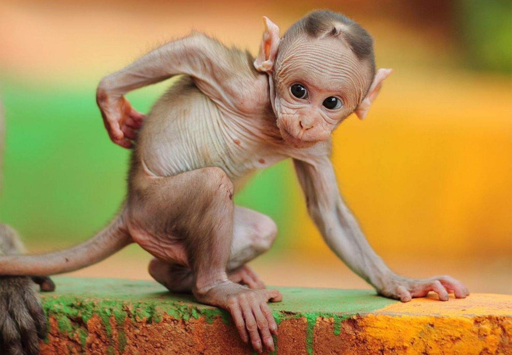 Hairless Baby Macaque Monkey HD Animals and Birds