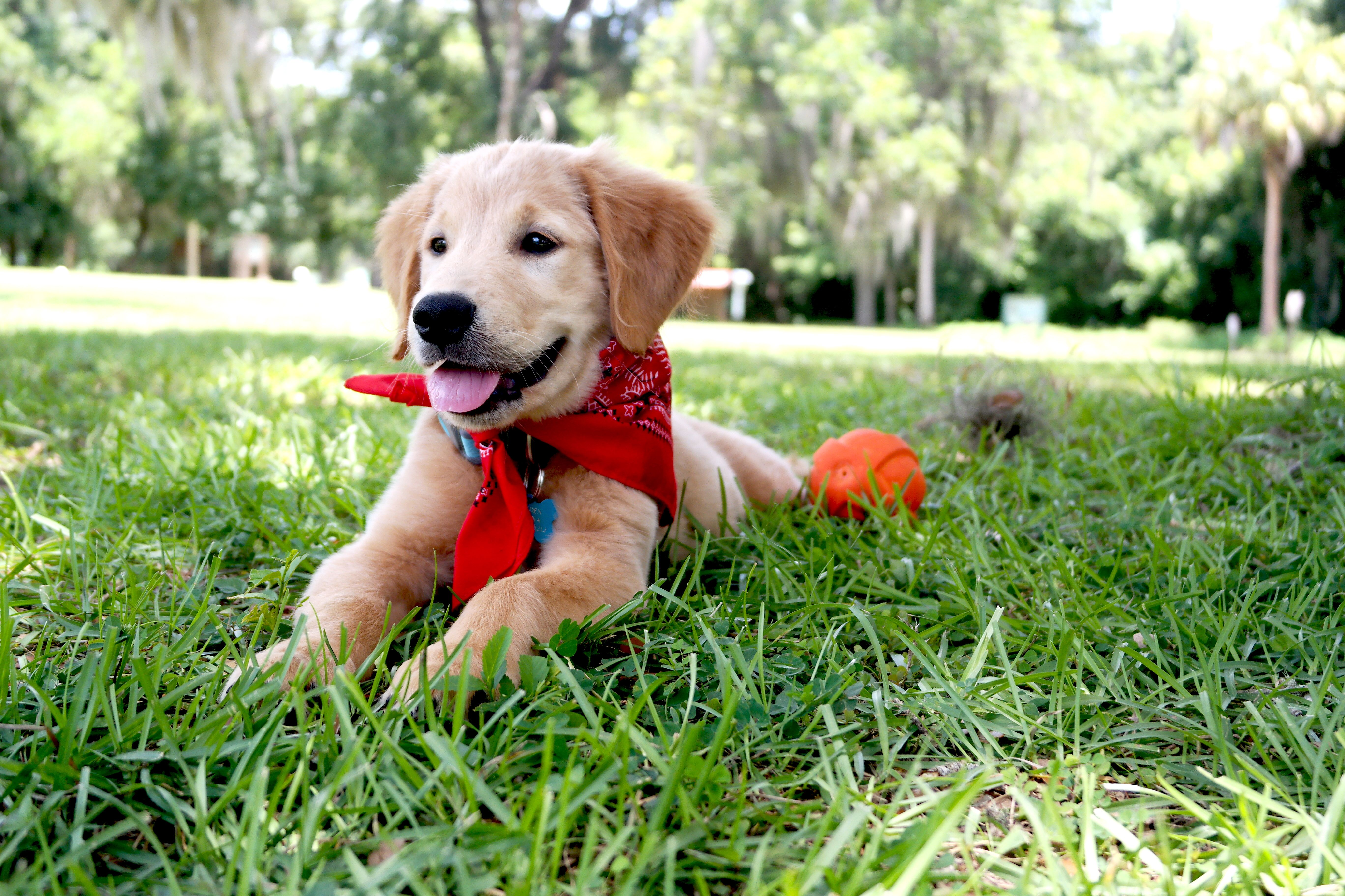 Brayden a golden retriever puppy hanging out at the park