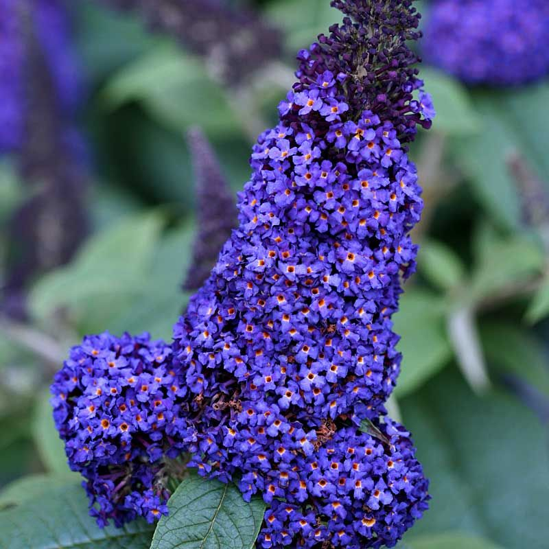 Buddleia Pugster Blue Reg Butterfly Bush How To Attract