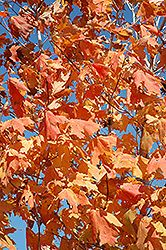 Click To View Full Size Photo Of Unity Sugar Maple Acer Saccharum Unity Sugar Maple Maple Unity