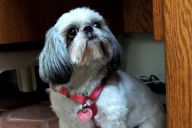 Shih Tzu Food My Love Of Shih Tzu S Shih Tzu Shih Tzu Dog Dogs