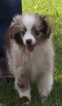Miniature Australian Shepherd puppy for sale in FOUNTAIN