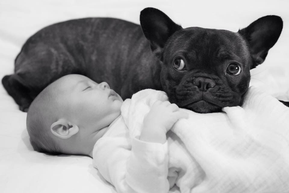 Cheech Posted In French Bulldog Enthusiasts Facebook Group French Bulldog Bulldog Bulldog Puppies