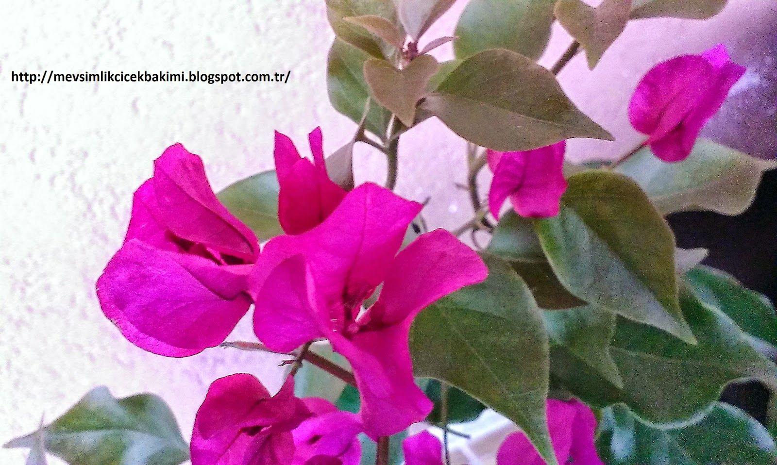 Begonvil Bougainvillea Bakimi çiçek Bakımı çiçek çeşitleri