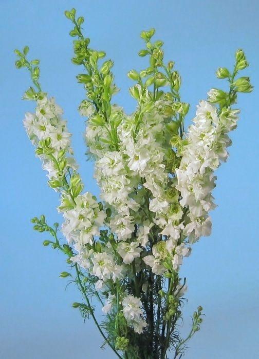 White larkspur flower white larkspur flowers in gardens white larkspur flower white larkspur mightylinksfo