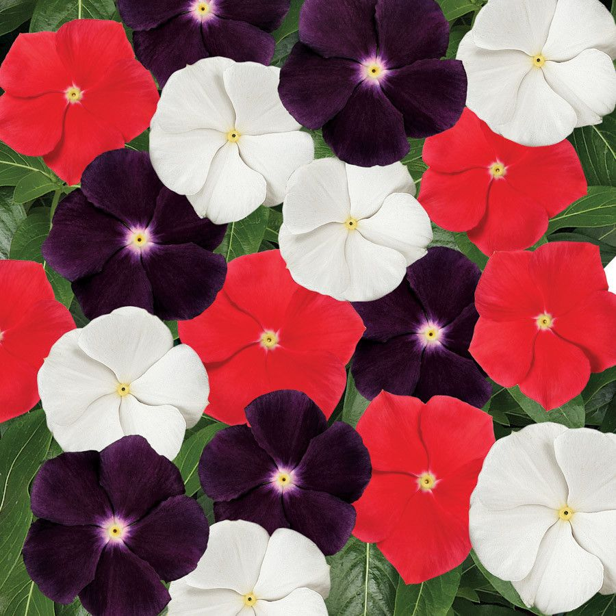 100 Vinca Seeds Jams Jellies American Pie Mix | Bulk Flower Seeds ...