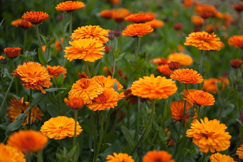 Orange Asters Plants All Plants Plant Life