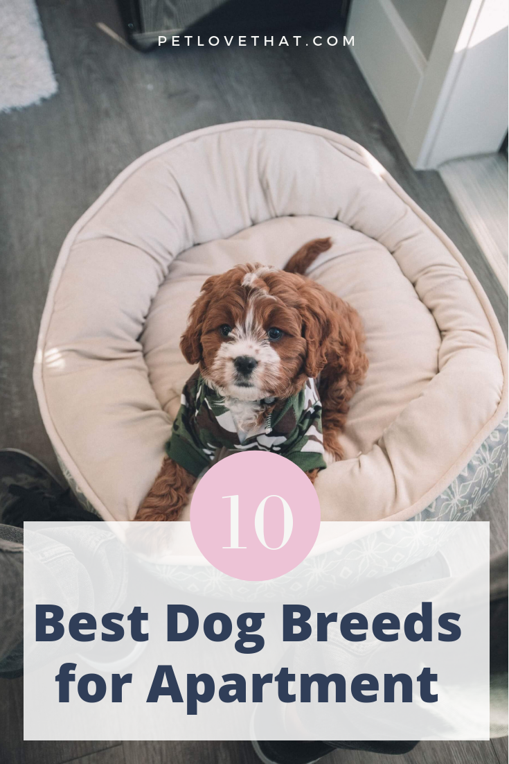 Apartment Living Does Not Necessarily Mean You Have To Turn Into A Pet Person If You Love Dogs You Best Dog Breeds Apartment Dogs Breeds Best Apartment Dogs