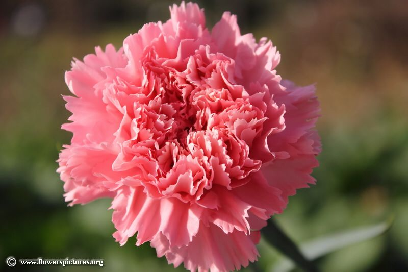 Pictures Of Carnation Flowers Red CarnationsPink CarnationsYellow CarnationsPurple CarnationsGreen CarnationsBeautiful Photos And Images On