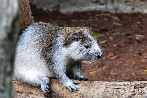 Caribbean Animals: A Type Of Rodent, The Cuban Hutia (Capromys Pilorides
