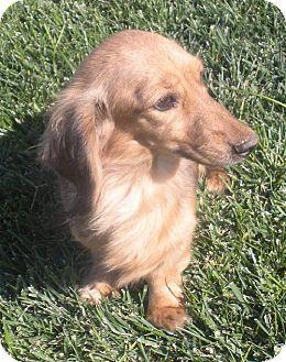 Anaheim Ca Dachshund Meet Erica A Dog For Adoption Pets