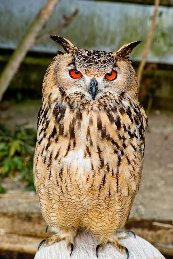 rock-eagle-owl