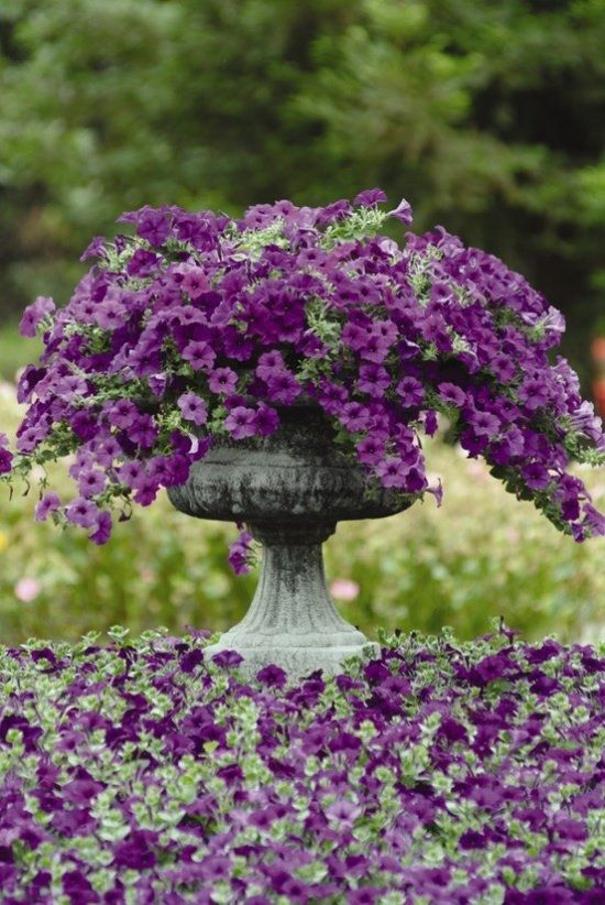 Purple Petunias container garden ~