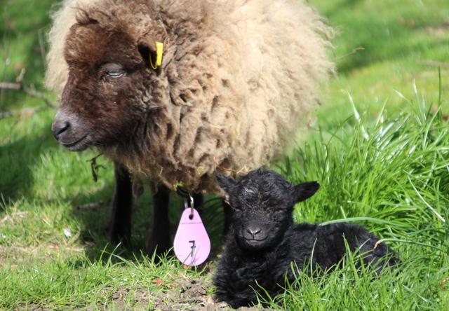 Haltung Ouessant Igou Zwergschafe Quessantschafe Quessant Schafe In 2021 Schafe Mini Schafe Schwarze Tiere