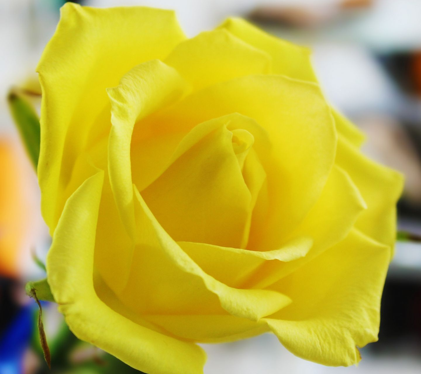 Yellow But Not Mellow Yellow Roses Yellow Flower Wallpaper Rose Flower Wallpaper