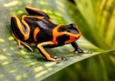 Amazon_rainforest : Red striped poison dart frog. A poisonous but beautiful small animal from the Amazon rain forest of Peru.