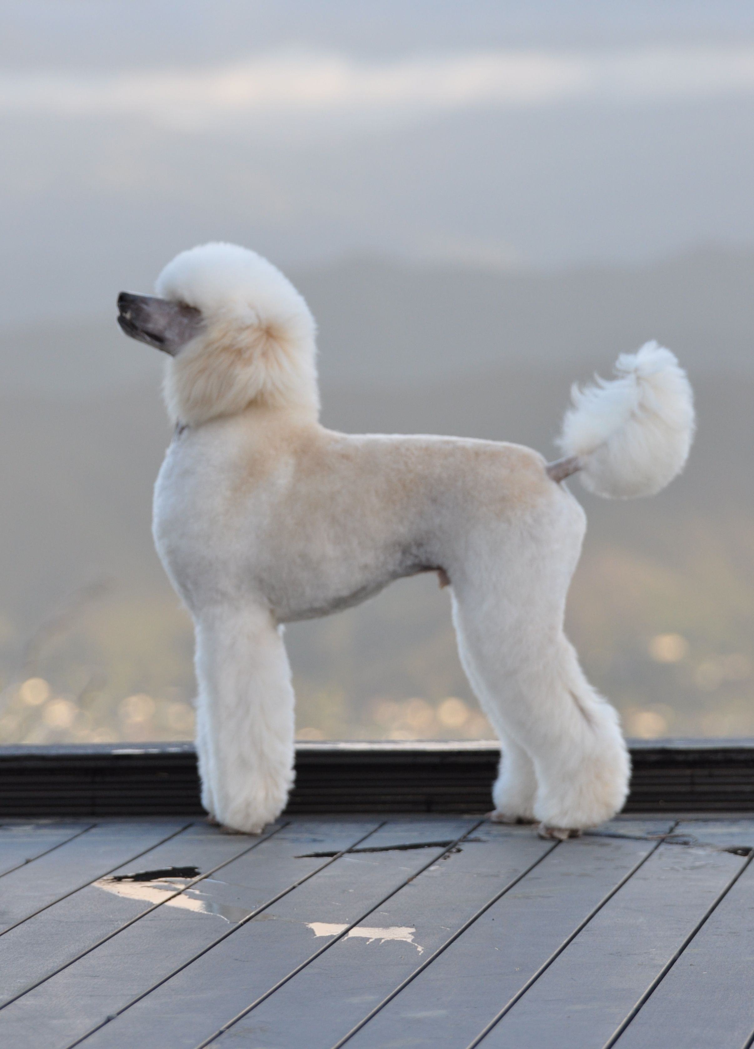 Standard poodle haircuts or of unless soft haircuts standard poodle - Ridiculous Haircut For Regal Standard Poodle
