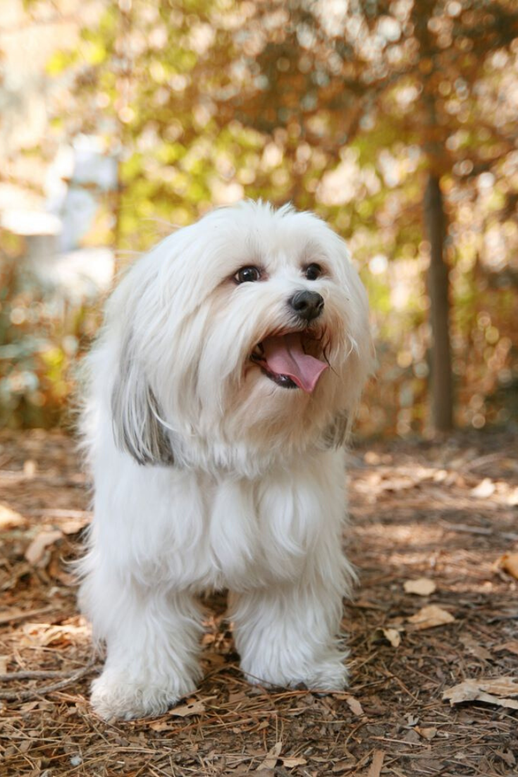 A White Mixed Breed Dog At A Public Nature Park Shihtzu Dog Breeds Designer Dogs Breeds Cute Dog Pictures
