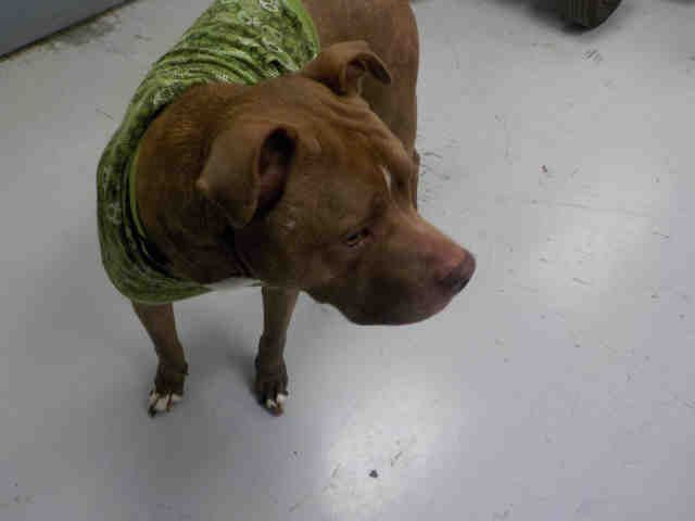 American Pit Bull Terrier Dog For Adoption In Temple Tx Adn