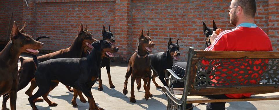 The Dobie Gang.   Dobermann pinscher, Doberman pincher dog ...