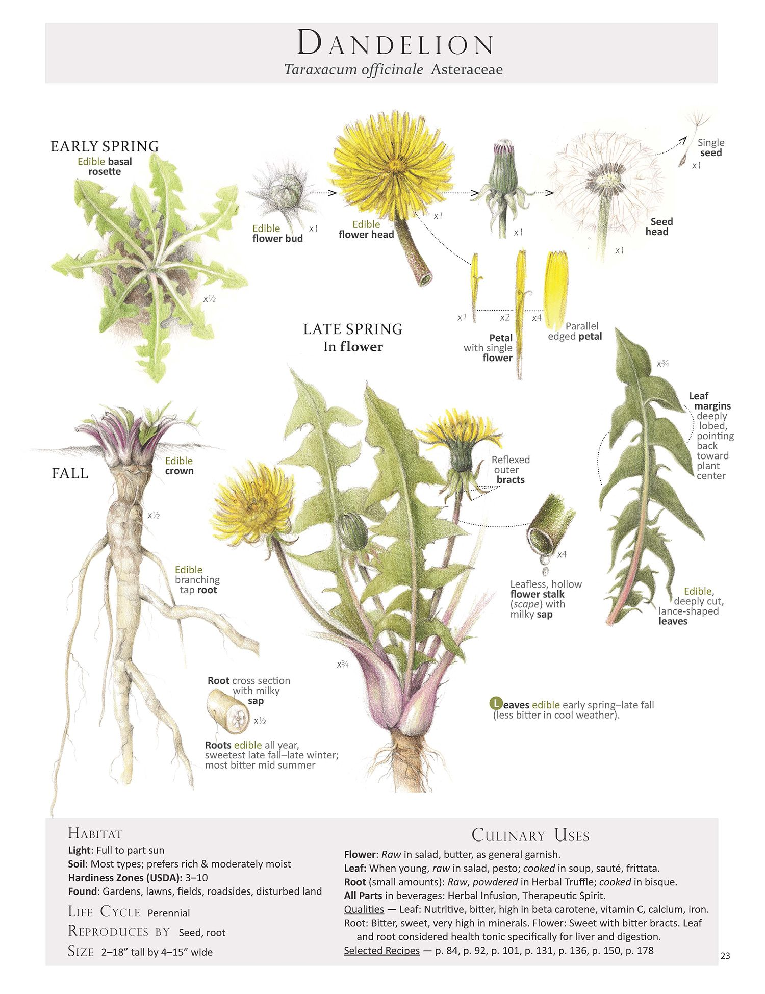 Foraging Feasting Dandelion Poster Posters Plants Medicinal
