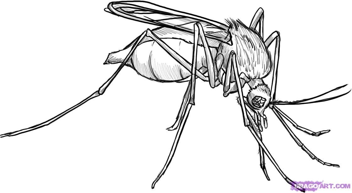 How to Draw a Mosquito, Step by Step, Bugs, Animals, FREE
