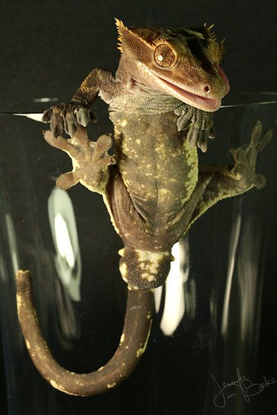 Crested Gecko I Had One Very Similar To This Little Guy Rest In