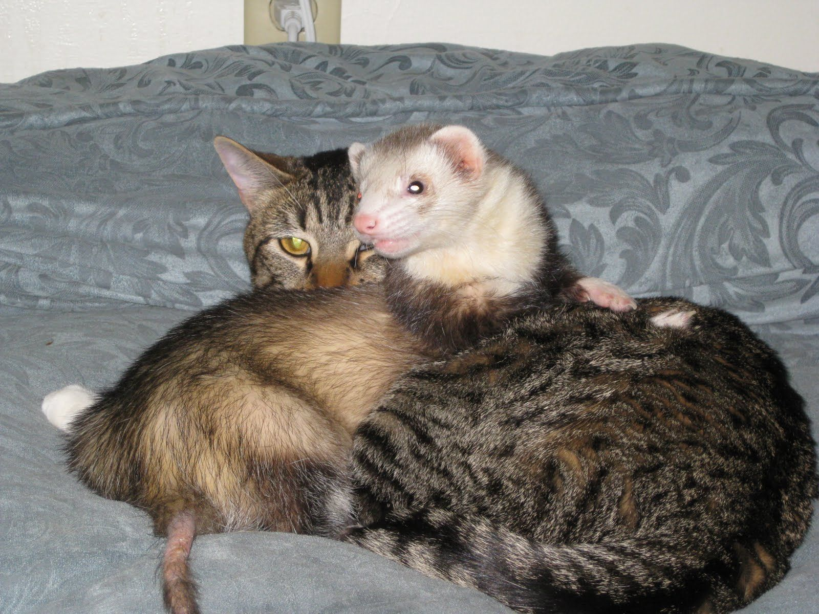 Can Ferrets And Dogs Get Along