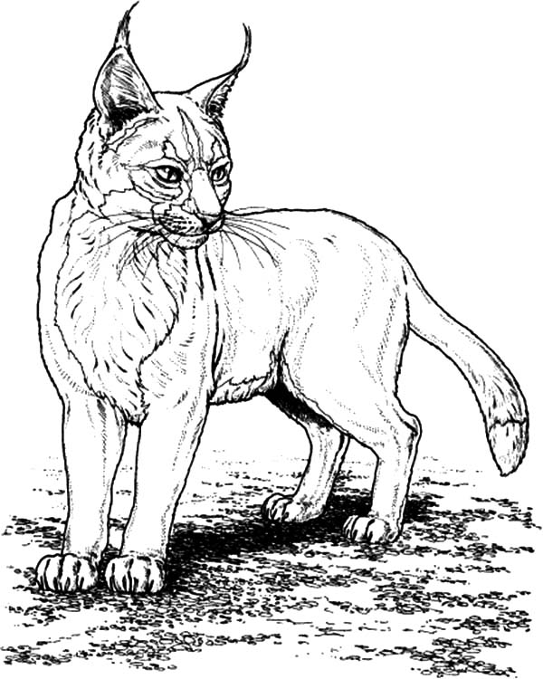 Pin On Bobcat Coloring Pages