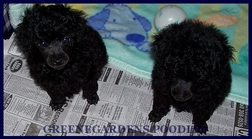Black Poodle Puppies From Www Poodlepleasure Com Poodle Puppy