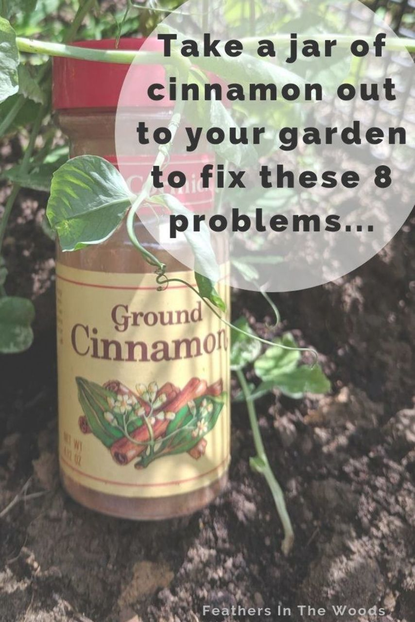 8 ways to use cinnamon in gardening. From rooting hormone to gnat removal, a jar of cinnamon can be your gardens best friend! #homesteading #gardening #organicgarden #gardenhacks #gnats