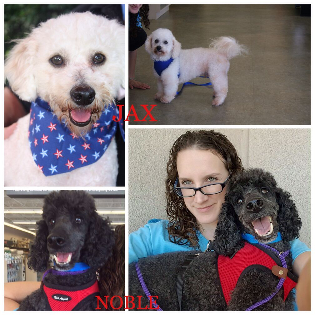 Poodle Rescue Houston Will Be Here Tomorrow From 12 4pm Come Meet