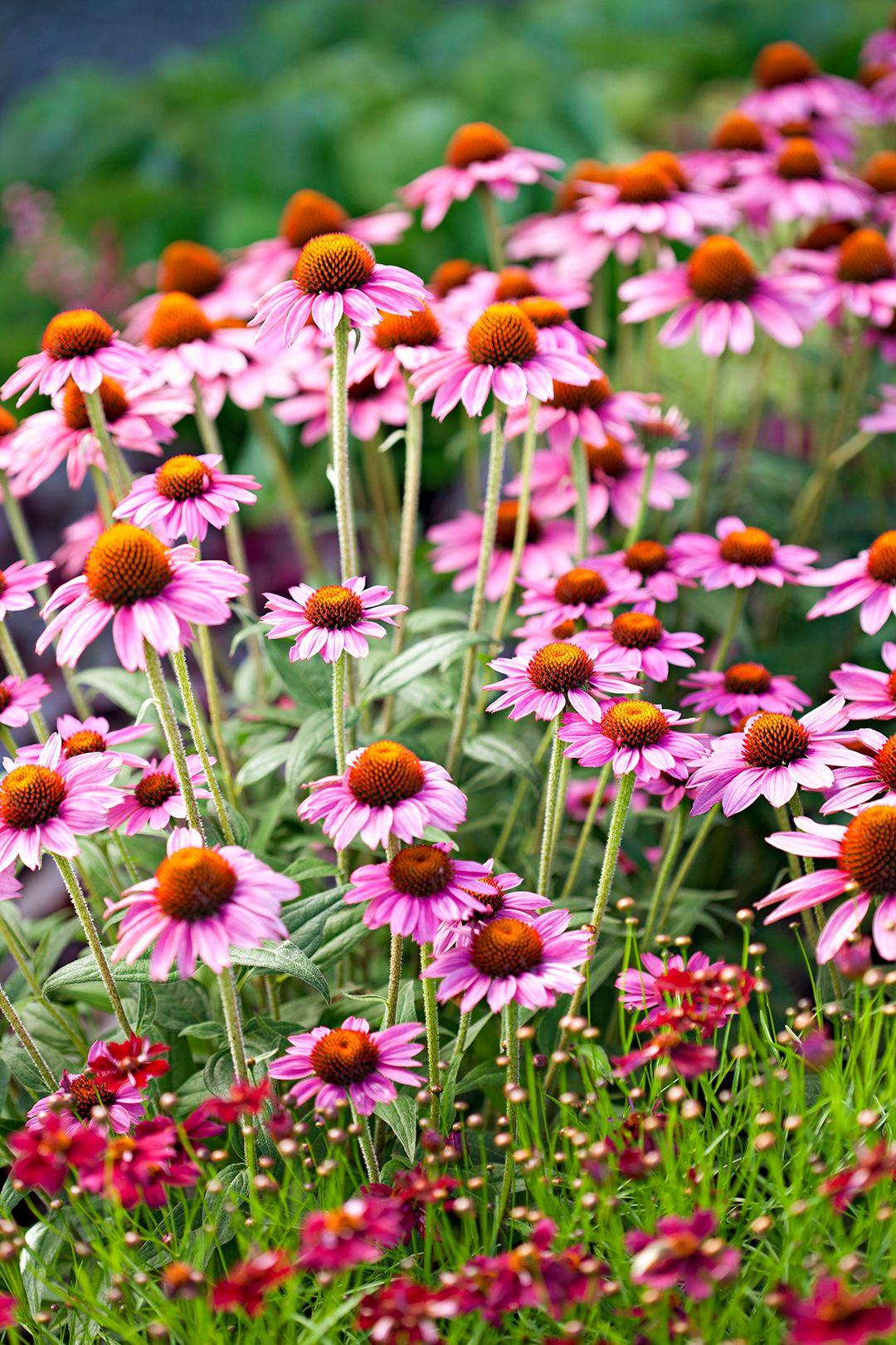 19 Power Perennials That Thrive No Matter What Flowers Perennials Hardy Perennials Plants