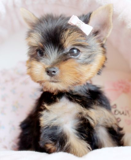 Yorkie Puppy By Teacupspuppies Com Yorkshire Terrier Puppies Yorkshire Terrier Yorkshire Terrier Dog