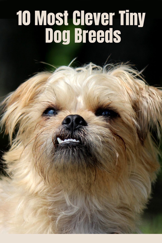 10 Most Clever Tiny Dog Breeds Dog Breeds Tiny Dog Breeds Tiny Dogs