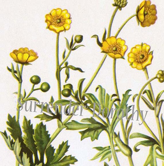 Meadow Buttercup Flower Ranunculus Acris Botanical Lithograph Etsy In 2020 Buttercup Flower Vintage Art Prints Vintage Botanical Prints