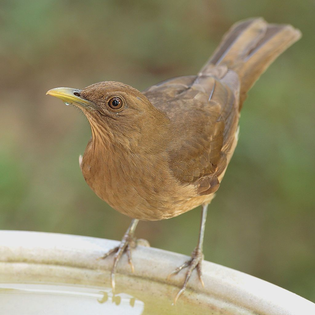 Clay Colored Thrush Turdus Grayi Or Yiguirro In Spanish