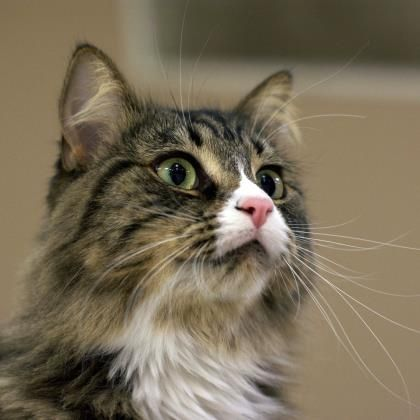 Special Needs Petango Com Meet Veruca A 3 Years 5 Months Domestic Longhair Mix Available For Adoption At Austin Pets Alive Austin T Gatos Sin Pelo Gatos