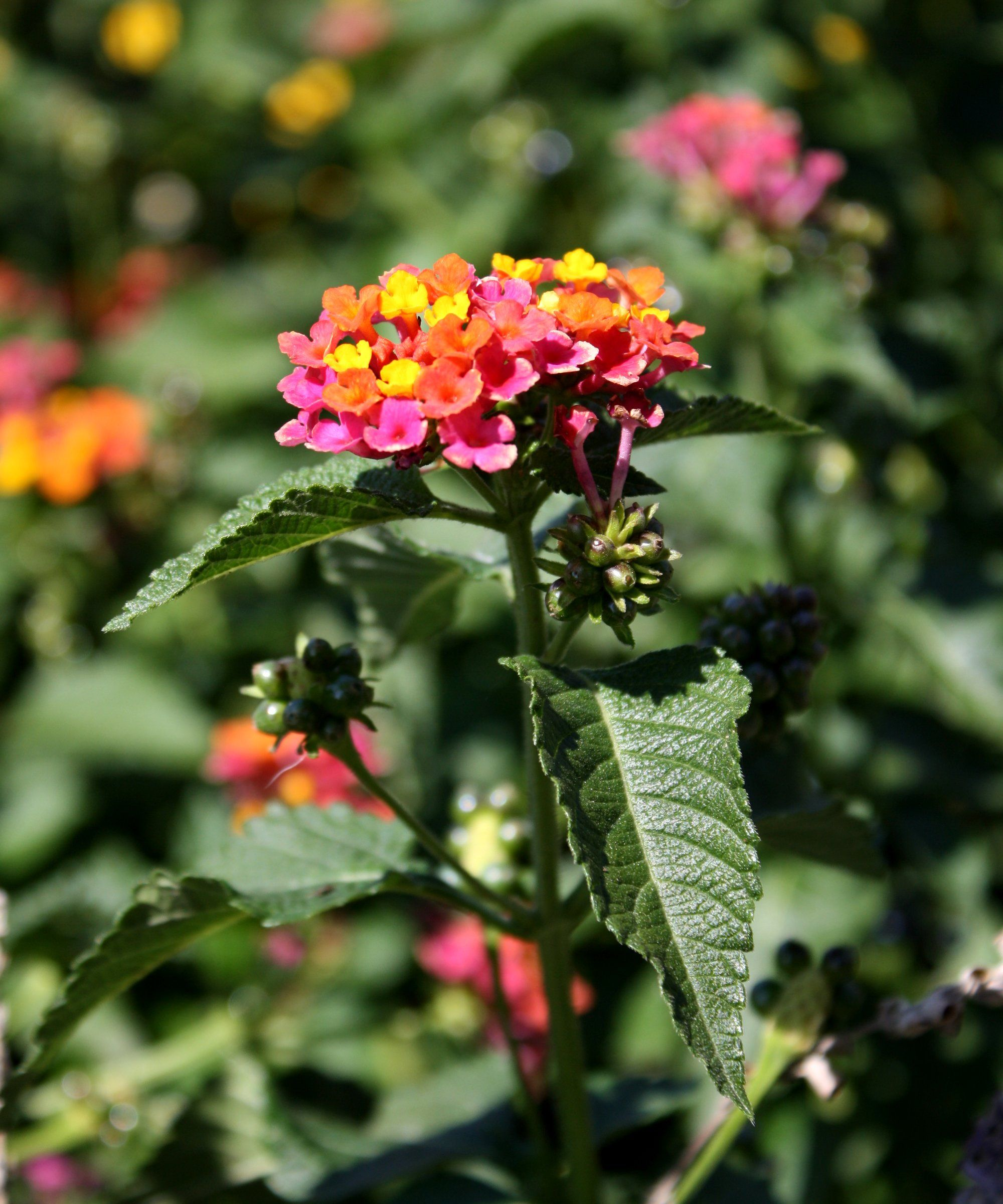 Butterfly plants butterfly bush flowers picture free for Garden trees with yellow flowers