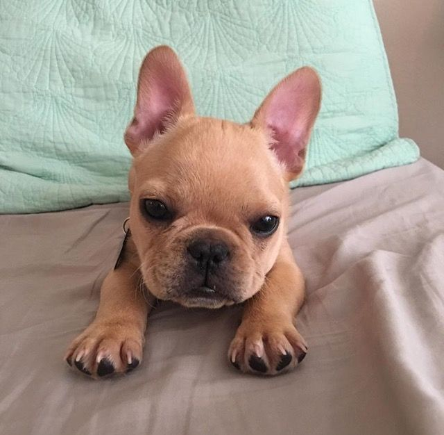 Pin By Xiomara On Dogs Frenchie Puppy Baby Animals French Bulldog