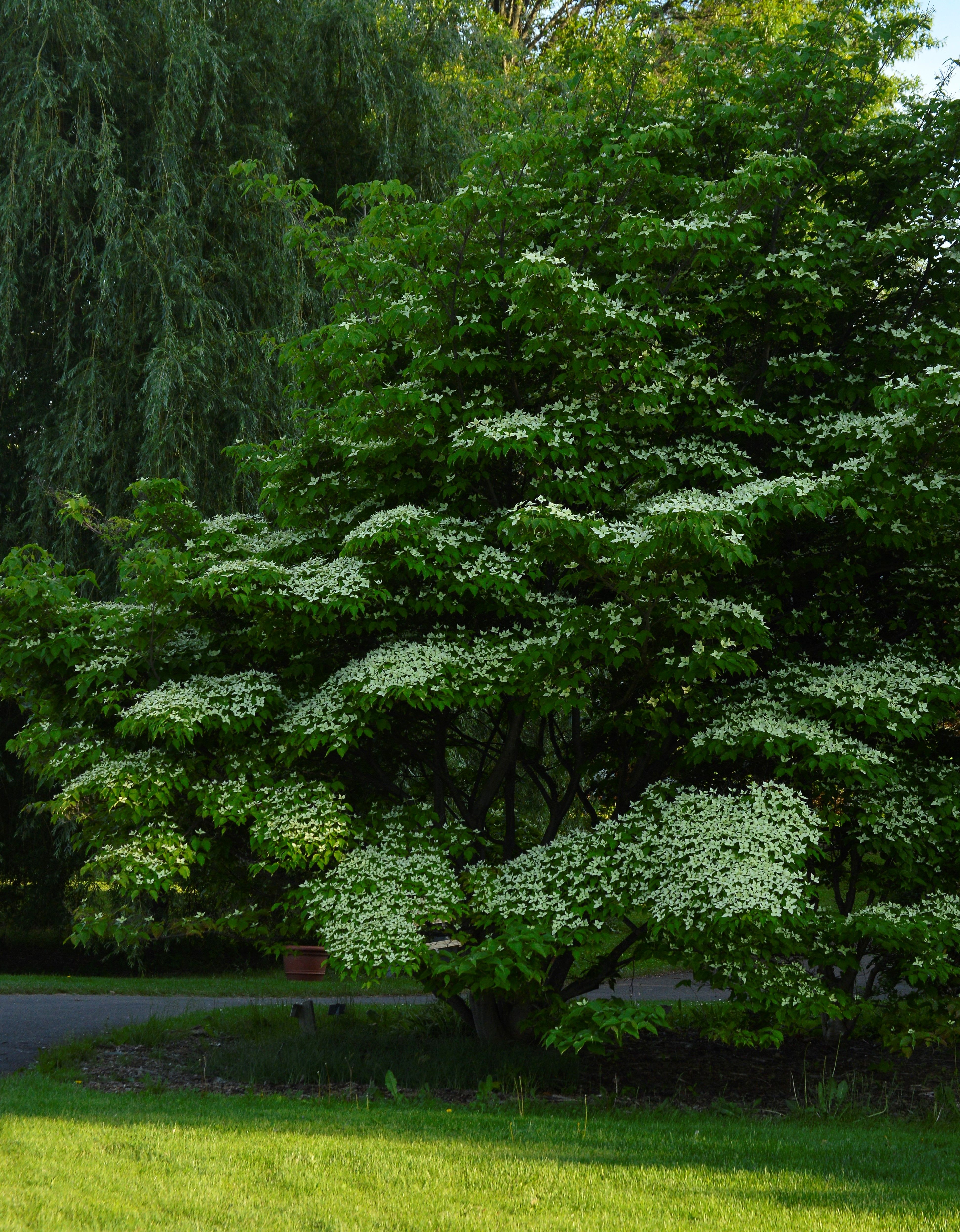 Milky Way Kousa Dogwood Cornus Kousa Flowering Trees Dogwood Kousa Dogwood