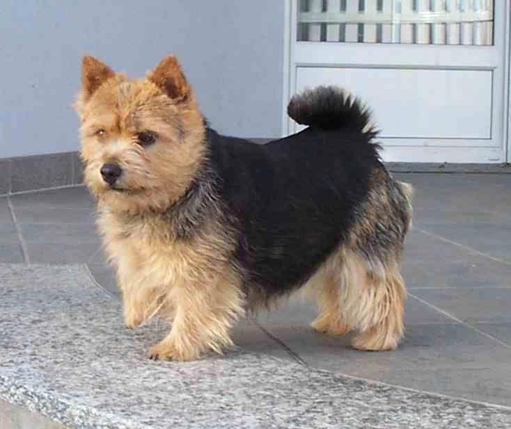 Norwich Terrier **such a cutie. I love that black saddle ...