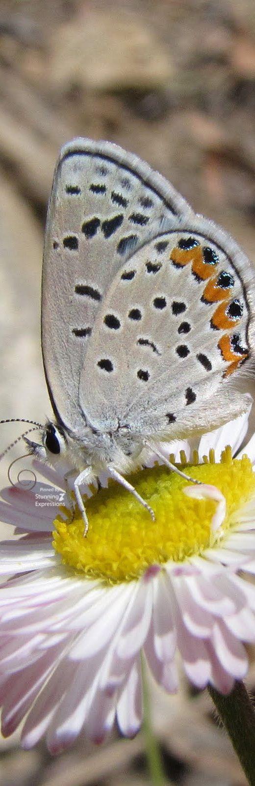butterflies.quenalbertini: Butterfly on daisie flower | Stunning Expressions
