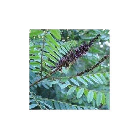 Amorpha semillas