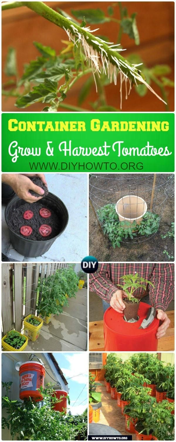 Gardening Tips to Grow Tomatoes In Containers: How to Grow and Harvest Tomato in Container Gardening via @diyhowto