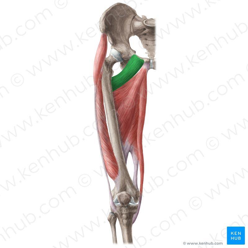 m.pectineus | Anatomy | Pinterest
