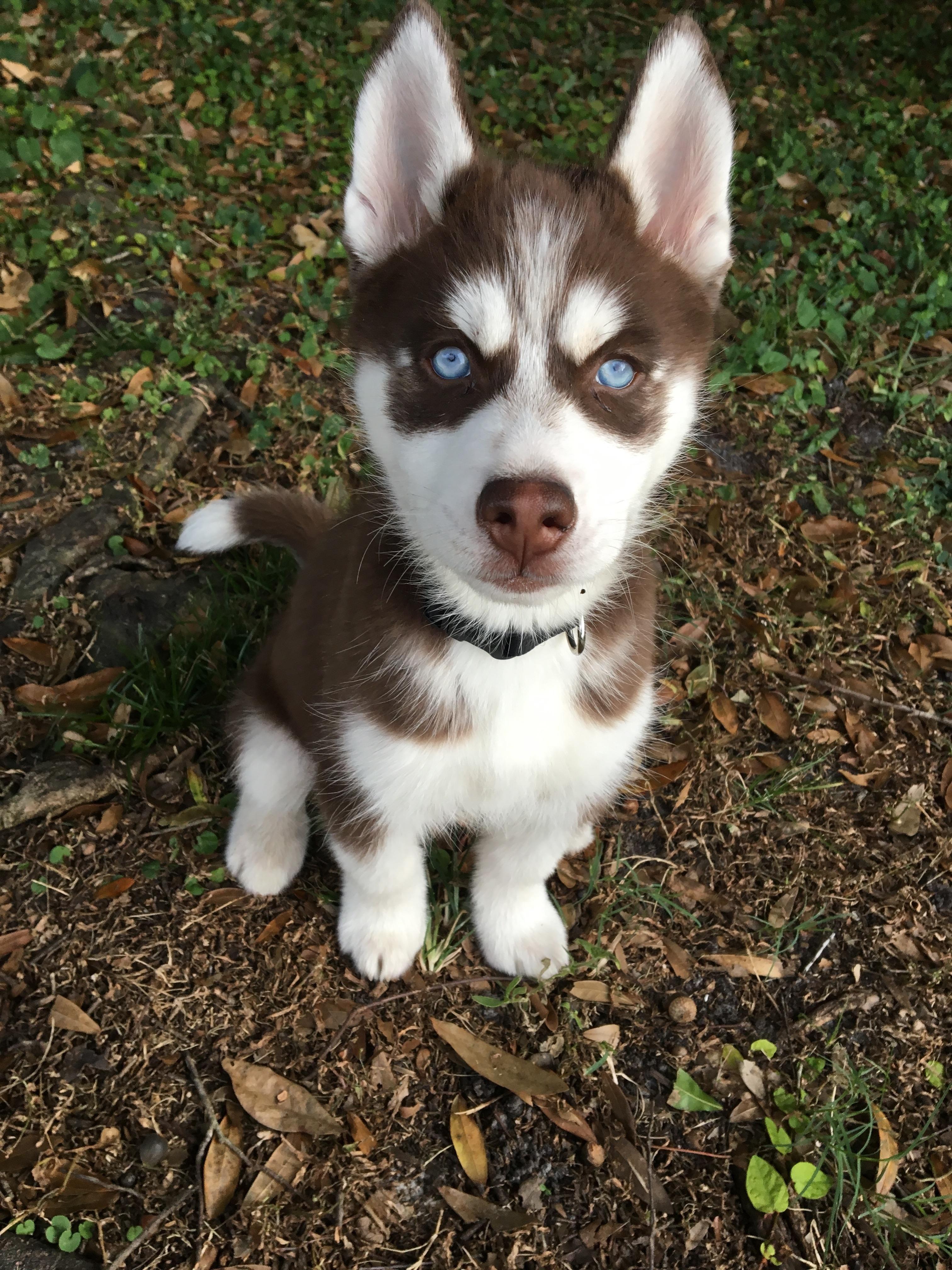 Hey guys meet my 3 month old husky puppy max!