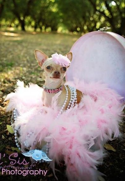 My Chihuahua Bianca S Glamour Shots Sooo Chic Cute Chihuahua
