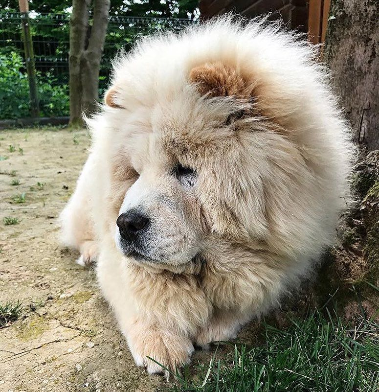 Pin On Chow Chows
